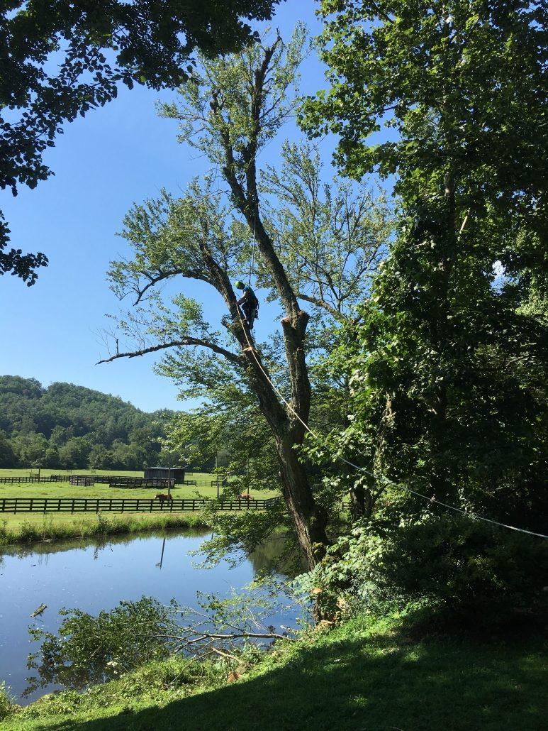 Arborist Works On Cutting Down A Tree