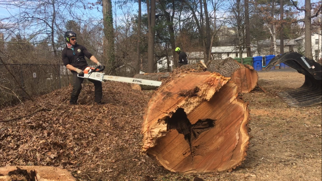 Man Cuts Large Tree With Stihl Chainsaw