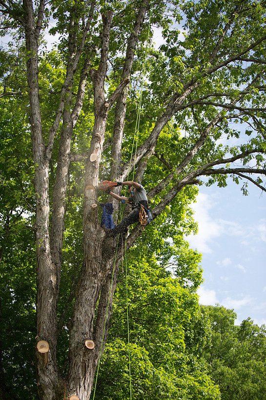 Oak Tree Cut Down By Arborist