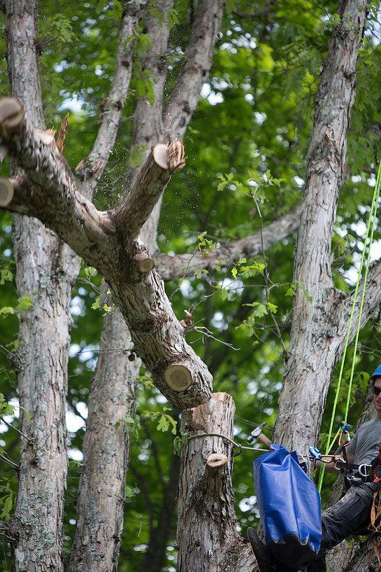 Oak Tree Being Removed