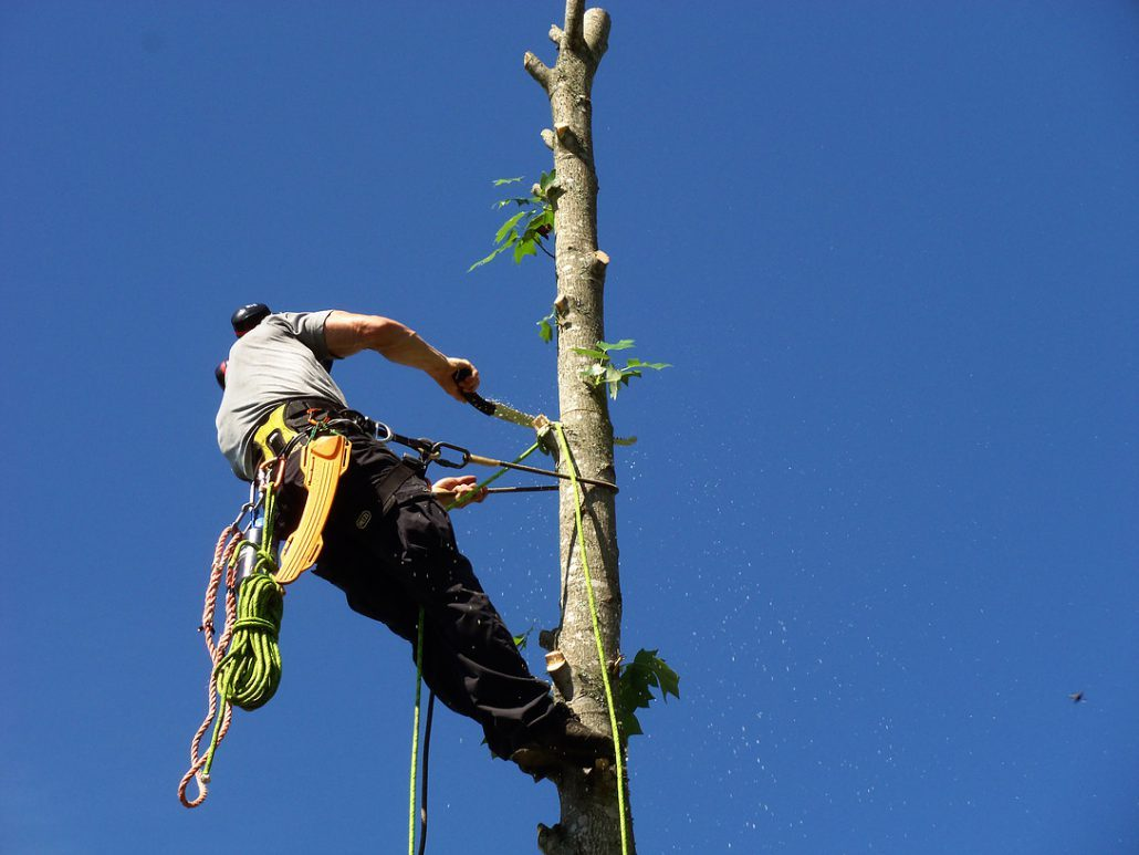 Tulip Tree Being Removed By Arborist